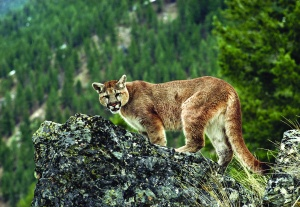 Cougar photo by Maurice Hornocker