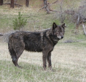 OR-12_Wenaha_male_wolf_odfw