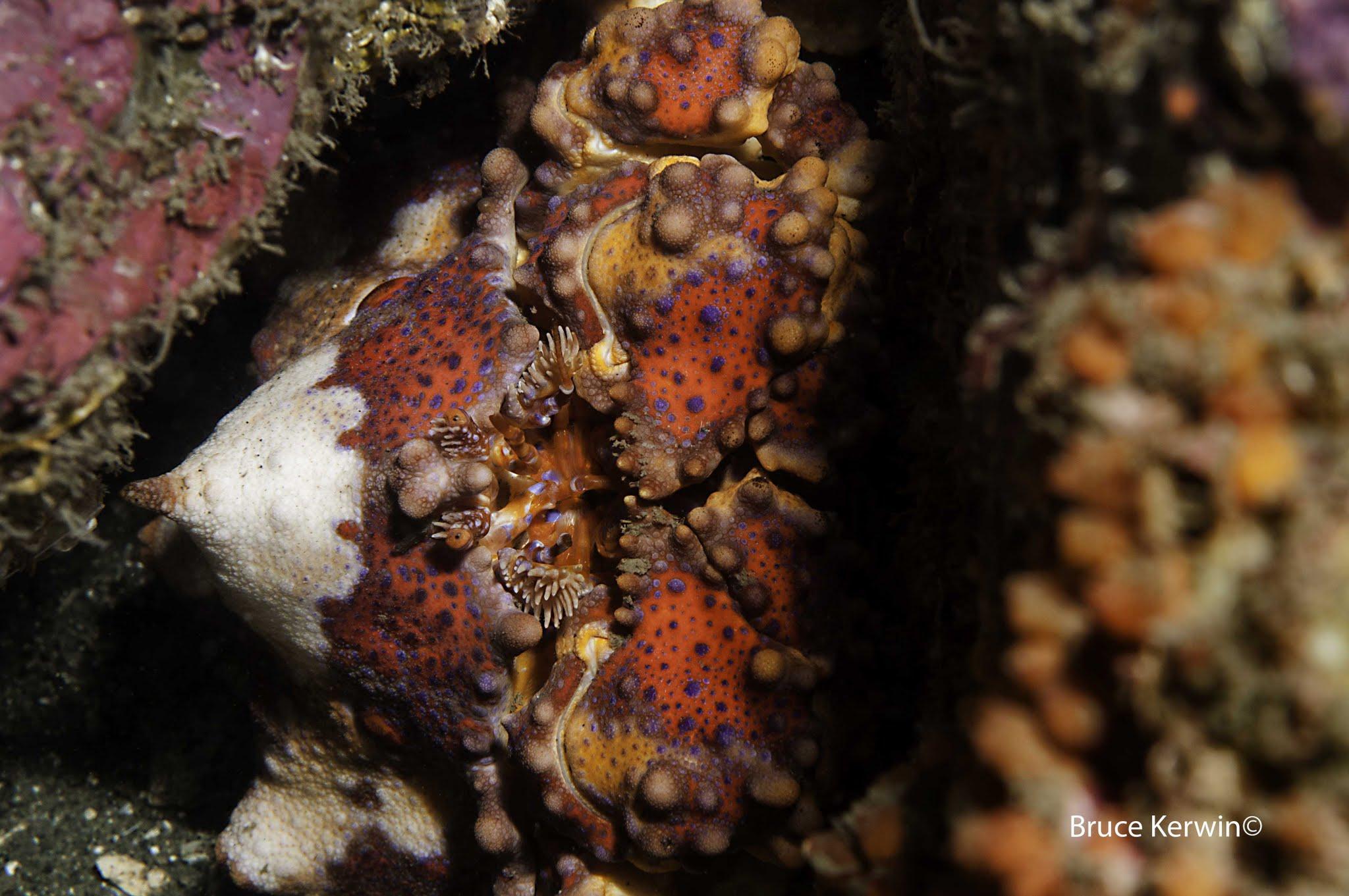 DSC_4425 Juvenile Puget Sound King Crab