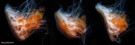 Successive photos of a fried egg jellyfish while swimming. Taken at Sund Rock in Hoodsport, WA