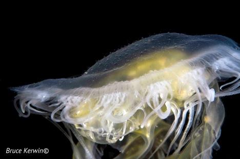 DSC_0134 Juvenile Lions Mane Jellyfish - Hood Canal 2016-04-17