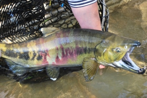 chum-salmon-on-salmon-creek