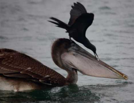 Bailas Bird shot